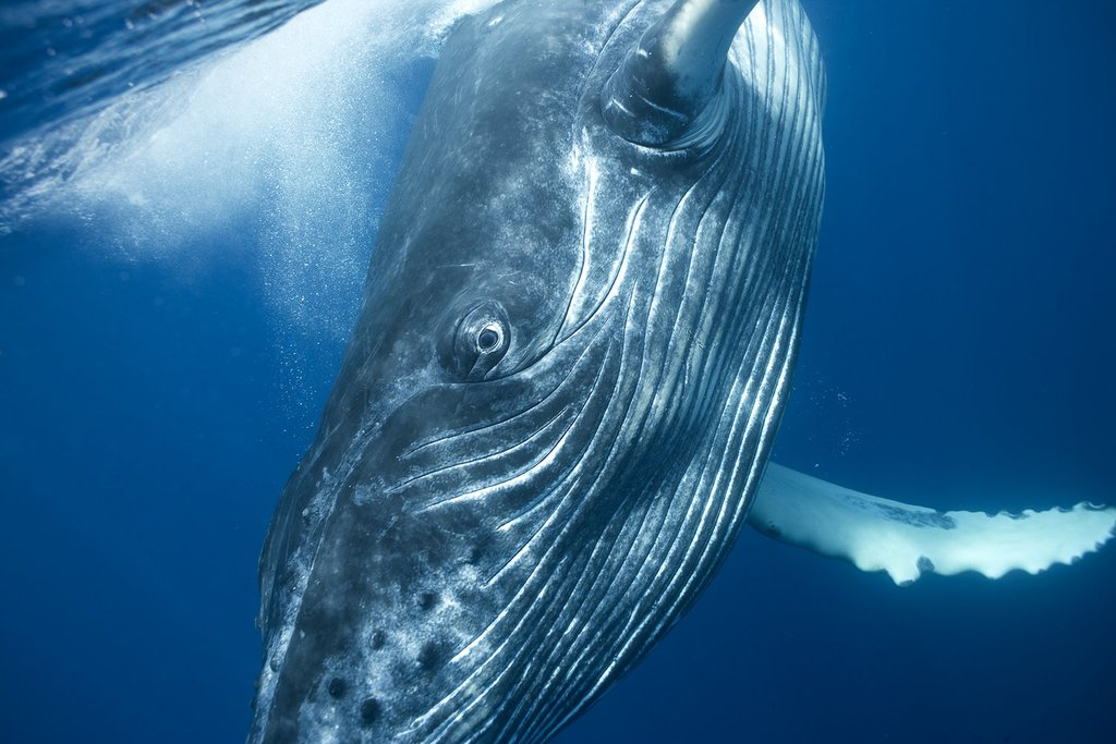 Bryant Austin Beautiful Whales Underwater Photography